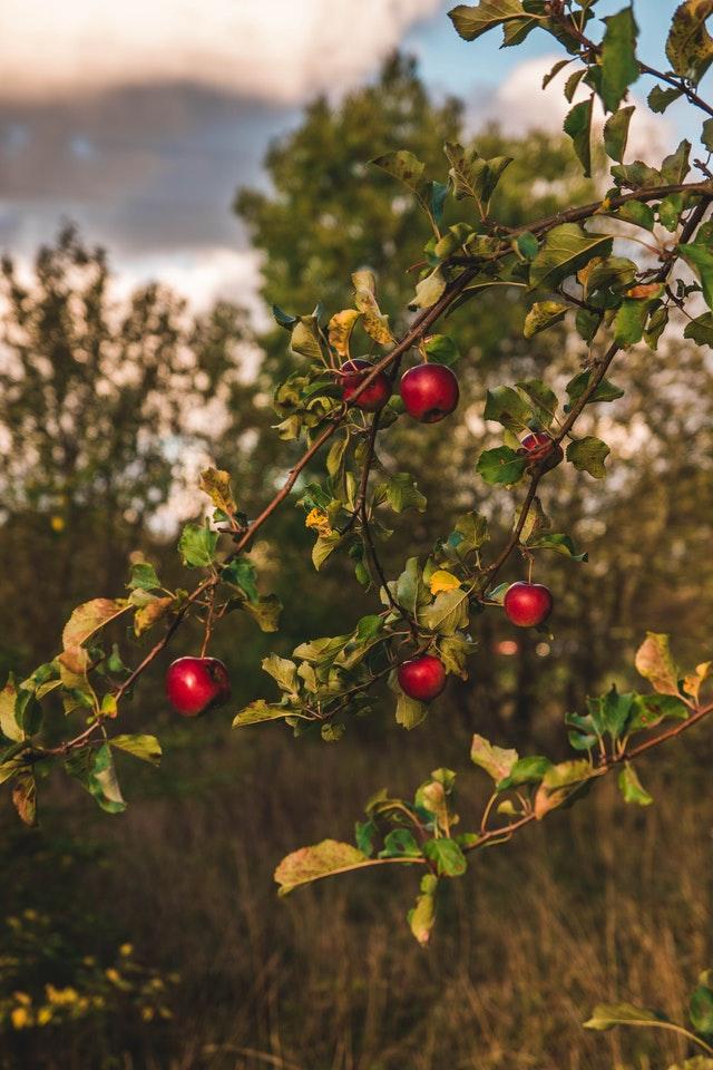 Pruning a simple fruit tree
